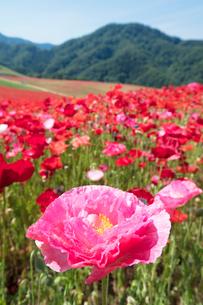 ポピーの花畑の写真素材 [FYI04093168]