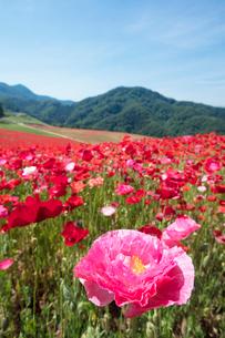 ポピーの花畑の写真素材 [FYI04093169]
