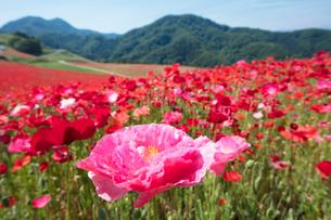 ポピーの花畑の写真素材 [FYI04093170]