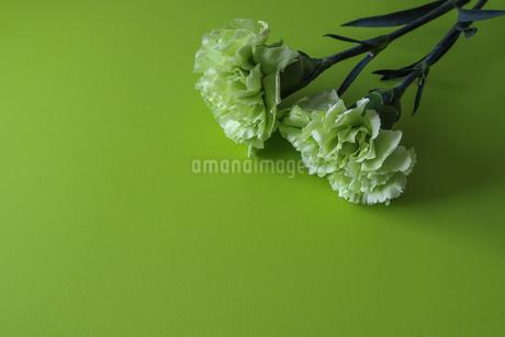 緑背景のカーネーションの写真素材 [FYI04093177]