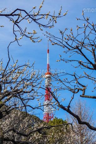 芝公園、東京タワーと梅の花の写真素材 [FYI04093326]