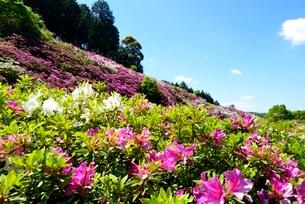 新緑,三室戸寺,山一面につつじの花園の写真素材 [FYI04093424]