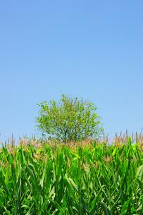 トウモロコシ畑の写真素材 [FYI04093634]