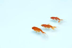 泳いでいる三匹の金魚の写真素材 [FYI04093689]