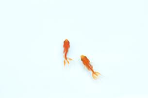 泳いでいる二匹の金魚の写真素材 [FYI04093690]