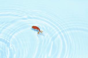 泳いでいる一匹の金魚の写真素材 [FYI04093692]