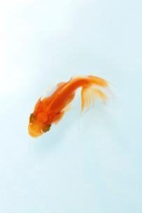 泳いでいる一匹の金魚の写真素材 [FYI04093694]