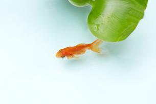 蓮の葉と一匹の金魚の写真素材 [FYI04093696]