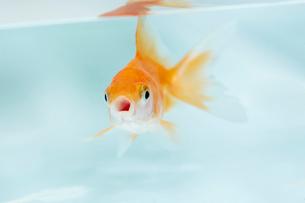 口を開けて泳いでいる一匹の金魚の写真素材 [FYI04093697]