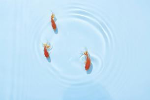 泳いでいる三匹の金魚の写真素材 [FYI04093698]