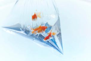 ビニールの袋に入っている三匹の金魚の写真素材 [FYI04093699]