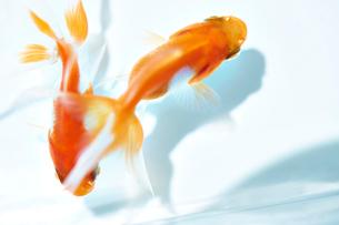 泳いでいる二匹の金魚の写真素材 [FYI04093700]