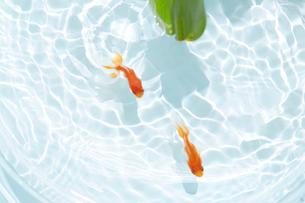 蓮の葉と二匹の金魚の写真素材 [FYI04093701]