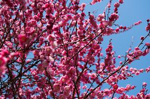 青空の 下に 咲く 満開の 紅梅の写真素材 [FYI04093806]