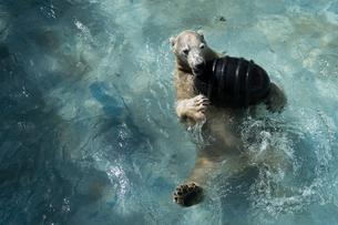 プールで 水遊びをする シロクマ (ホッキョクグマ)の写真素材 [FYI04093808]