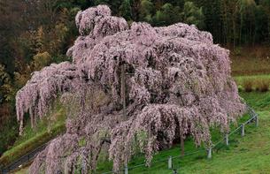 4月 三春の滝桜 -福島の桜-の写真素材 [FYI04093824]