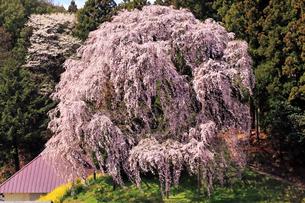 4月 合戦場のしだれ桜 -福島の桜-の写真素材 [FYI04093838]