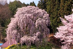 4月 合戦場のしだれ桜 -福島の桜-の写真素材 [FYI04093839]