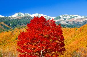 乗鞍高原一本のカエデの木紅葉と冠雪の乗鞍岳の写真素材 [FYI04094009]