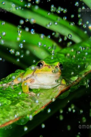 雨粒の中のアマガエルの写真素材 [FYI04094034]