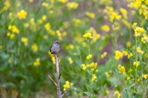 枯れ木の先にとまるオジロビタキのオスの成鳥の写真素材 [FYI04094085]