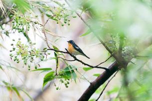 雨上がりの林中の小枝にとまるムギマキのオスの成鳥の写真素材 [FYI04094088]