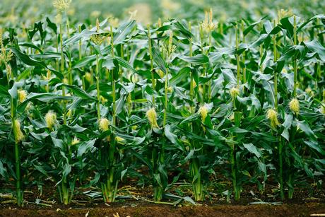 トウモロコシ畑の写真素材 [FYI04094191]