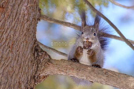 エゾリス リス 木ねずみ 帯広市 北海道 冬の写真素材 [FYI04094404]