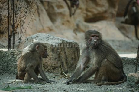 シンガポール動物園のマントヒヒのイメージの写真素材 [FYI04094924]