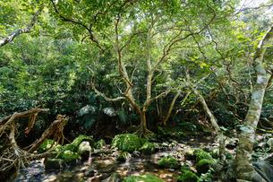西表島のジャングルの写真素材 [FYI04095058]