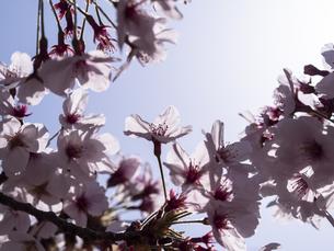 満開の桜の写真素材 [FYI04095194]