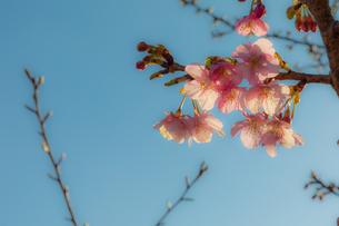 早咲きの桜の写真素材 [FYI04095240]