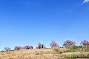 江戸川土手の河津桜の写真素材 [FYI04095250]
