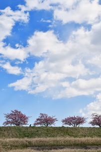 江戸川土手の河津桜の写真素材 [FYI04095251]