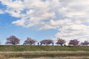 江戸川土手の河津桜の写真素材 [FYI04095252]