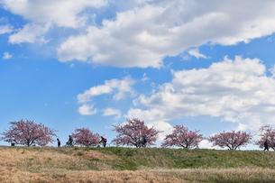 江戸川土手の河津桜の写真素材 [FYI04095253]