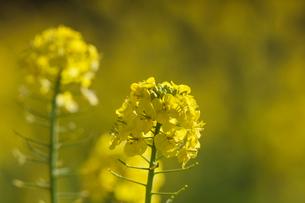 菜の花満開の写真素材 [FYI04095259]
