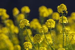 菜の花の写真素材 [FYI04095261]