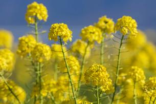 菜の花満開の写真素材 [FYI04095262]