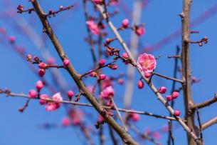 紅梅開花の写真素材 [FYI04095265]