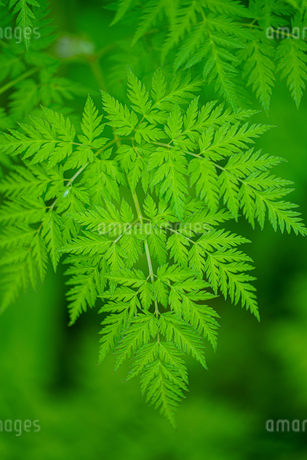 シダ植物の写真素材 [FYI04095489]