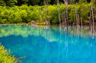 青い池の枯木林の写真素材 [FYI04095934]