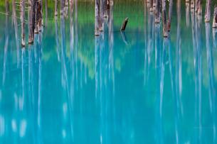 青い池の枯木林の写真素材 [FYI04095935]