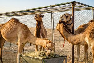 アラビア砂漠のラクダ(アラブ首長国連邦)の写真素材 [FYI04096015]