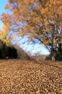 ケヤキの大木と落ち葉の写真素材 [FYI04096439]