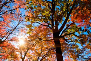 代々木公園の紅葉と朝の日差しの写真素材 [FYI04096443]