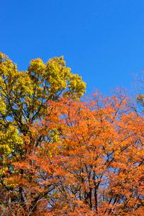 青空と紅葉の写真素材 [FYI04096444]