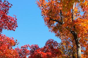 青空とイロハモミジの紅葉の写真素材 [FYI04096447]