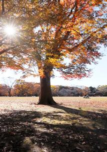 代々木公園のイロハモミジの紅葉の写真素材 [FYI04096451]
