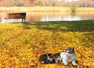 落ち葉の上で日向ぼっこする猫の親子の写真素材 [FYI04096470]